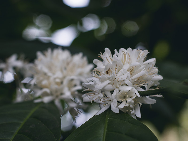 coffee-flower