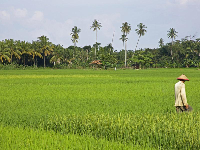 rice0field